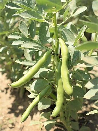 Haricots de jardin / Garden beans